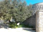 External view (trullo+olive tree)