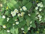 Spring 2014 primroses