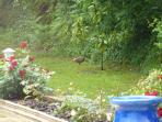palombe sauvage dans le jardin