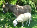 Bel, our sheep and Mimosa, her friend