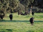 You will have the chance of seeing herds of the famous Spanish bulls within the fenced nearby fields