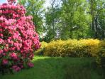 Scented rhododendrons in early summer