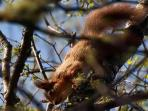 Guest photo of Red Squirrel