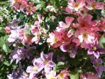 l'explosion des rosiers et clematites en juin