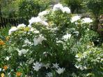 pivoine arbustive blanche et tulipe fleur de lys en juin