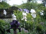 douce harmonie des grands iris  debut juin
