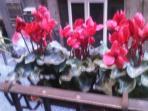 i ciclamini sul balcone