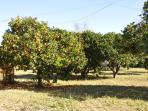 Villa Katerina is nestled in 3 acres of land, including this citrus fruit orchard