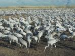 Cranes in Agamon Hahula lake