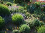 Our garden is full of herbs found growing naturally in the Garrigue.
