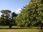 Cherry trees in the garden