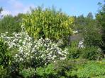 Apple Blossom and laburnam in Cottage garden