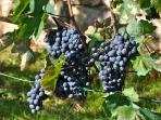 Grapes in Mid September