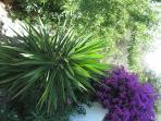 Garden with bouganvillea, orange tree, almond tree, oleanders and olive.
