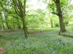 Carpets of Scottish Blue Bells in the woods around The Castle.