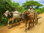 Ox carts in the neighborhood