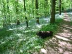 Doggy Heaven.Harry enjoying his walk through the bluebells in the wood opposite Sanders Cottage..