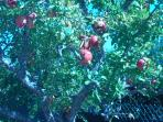 One of the many fruit trees