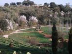 almond trees in flower in February/March