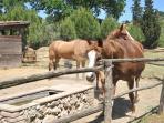 cavalli all'abbeveratoio