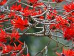 Coral tree flowers of the Coral Tree in front of the establishment