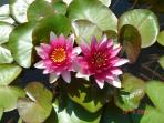 Pond & Water Lillies