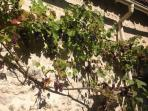 Grapevine on the gite wall