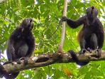 Howler monkeys wake most morning and regularly cross a top of trees in our front yard.