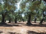 Oliveti secolari di nostra proprietà