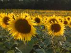 Sunflowers in the fields every other year.