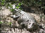 Most guests take the opportunity to see Daintree's protected crocodiles on a tour while staying