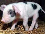 One of the piglets that are often to be found on the farm