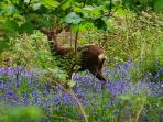 If you go quietly you can see the roe deer in our 3 acres of woodland