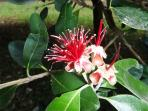Beautiful feijoa flower in bloom (November)