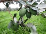 Feijoa fruit hanging on our trees (March-May)