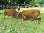 Pitões das Júnias - Casa de Campo - Turismo Rural - Chega de bois em Montalegre