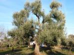 un des oliviers séculaires du domaine des Normanni