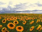 Our region is rich in sunflowers