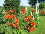 Poppies in Cefn Eithin garden