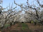Les cerisiers autour de la maison Les vergers de la Bouligaire