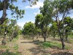 850 mango trees in te property.