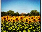 Now I know why it's called Il Girasole!!