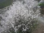 Ende Januar blühen die Mandelbäume in den Bergen, ein unvergessliches Ereignis.