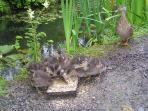 Feeding time by the pond - wild ducks