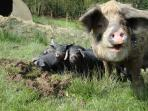Pigs at Lower Hearson Farm