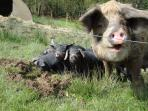 Meet our friendly pigs