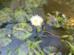 Water lillies at the front door
