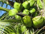 Fresh Coconut at Foul Bay