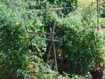 Tomatoes ripening in the Casa Nova estate's vegetable garden: for every season, its own pleasur