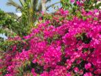 Bougainvillea in shared garden area